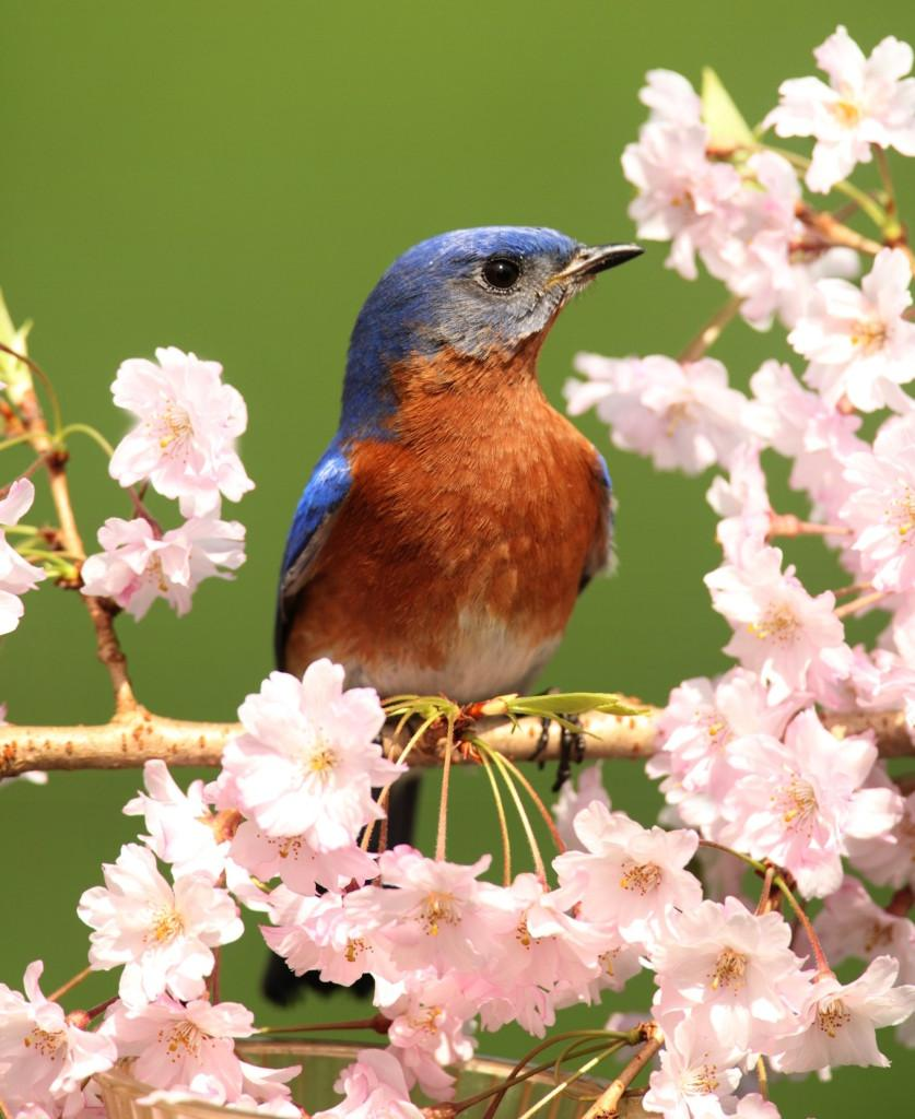 Male Eastern Bluebird (Sialia sialis) in a tree with cherry blossoms